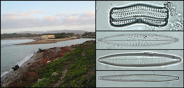 Un collage montrant un estuaire et plusieurs spécimens de phytoplancton.
