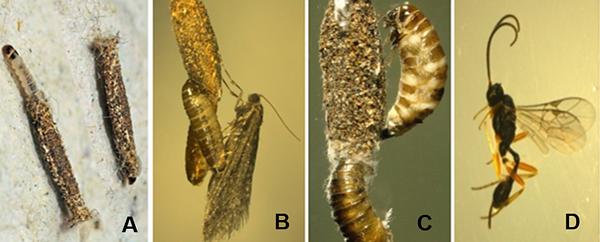 Une larve brune à côté d'un fourreau brun. Une femelle adulte. Deux larves. Une guêpe dotée de longues antennes et d'un long ovipositeur.