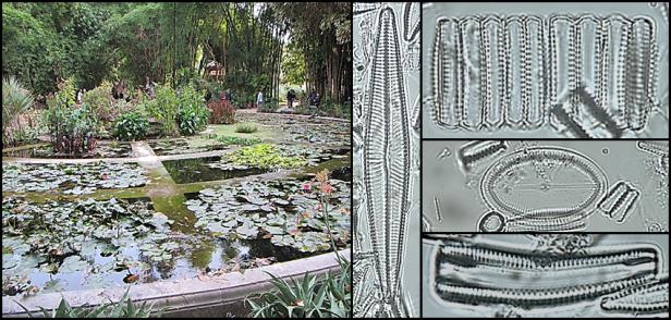 Un collage montrant un étang dans un jardin et plusieurs spécimens de phytoplancton.