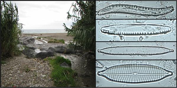 Un collage montrant une plage et plusieurs spécimens de phytoplancton.
