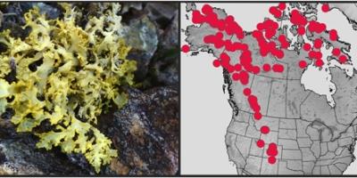 Un lichen jaune à côté d'une carte des spécimens connus en Amérique du Nord.