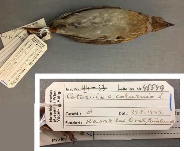 Vue ventrale d'un spécimen de caille et une vue rapprochée de l'une des étiquettes attachées aux pattes de l'oiseau. On peut y lire notamment Coturnix c. coturnix L.; 29.V.1943; Kasar bei Orel, Russland.