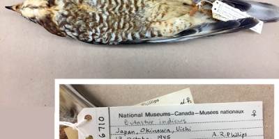 Vue ventrale d'un spécimen de Busautour et vue rapprochée des étiquettes attachées aux pattes de l'oiseau. On peut y lire entre autres : Japan, Okinawa; Butastur indicus; 13 October 1945; A.R. Phillips.