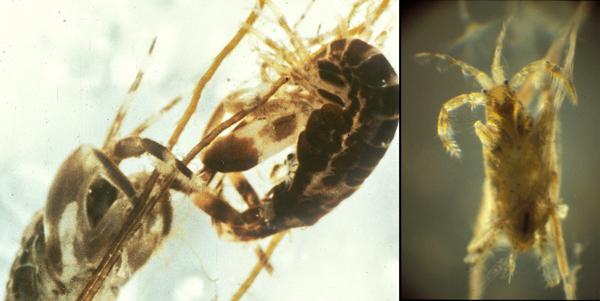 À gauche, deux animaux ressemblant à des crevettes avec une paire de pinces surdimensionnées. À droite, une autre de ces créatures dans un tube.