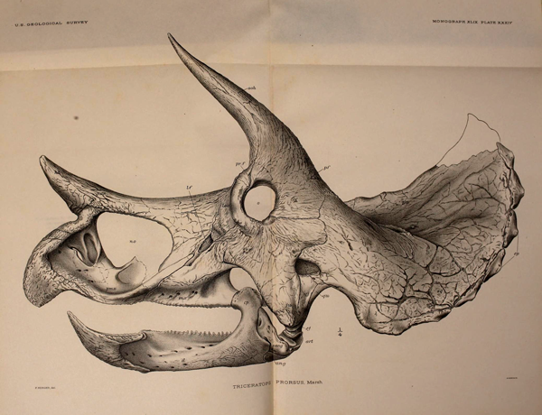 Dessin d'un crâne de dinosaure à cornes.
