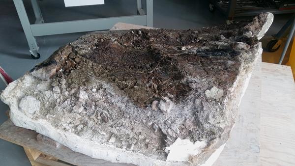 Un fossile partiellement enveloppé de sa coque de plâtre.