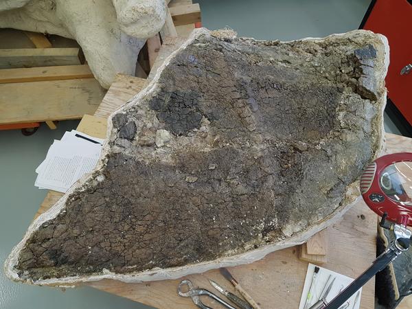 Gros plan sur les fissures du fossile de dinosaure à cornes.