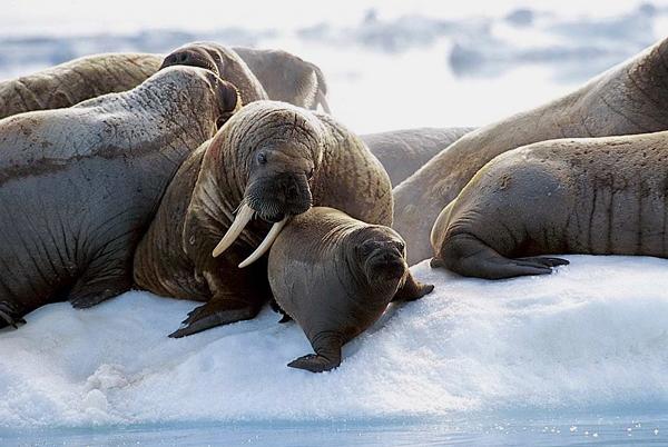 Photographie de morses sur la glace de mer.
