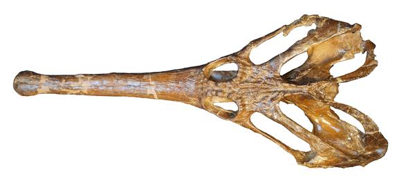 Un crâne de Champsosaurus