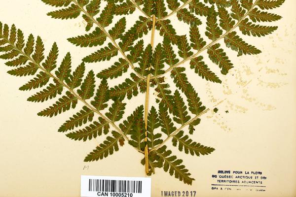 Gros plan d'une feuille d'herbier avec un spécimen de dryoptère dressée dont il manque une section en raison de la dégradation de la colle.