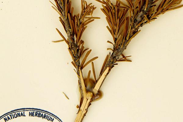 Gros plan d'une feuille d'herbier de sapin subalpin avec une colle acide et jaunie qui masque une partie du spécimen.