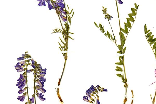 Gros plan d'une feuille d'herbier avec un spécimen de sainfoin alpin fixé à l'aide de fines lanières de ruban entoilé blanc.