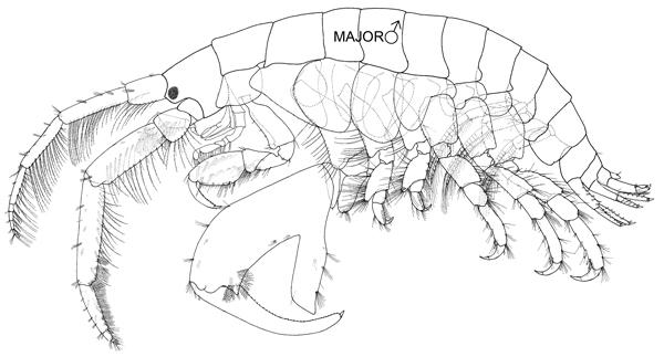 Un dessin au trait d'un amphipode mâle adulte avec une pince plus grosse que l'autre sous son corps.