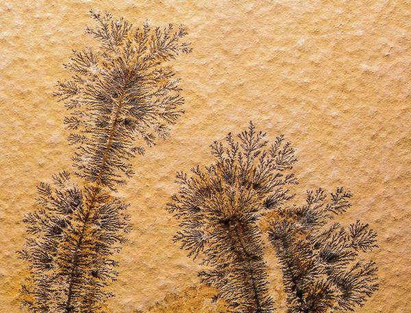 Un morceau de calcaire avec un motif dendritique plus foncé en forme d'arbre.