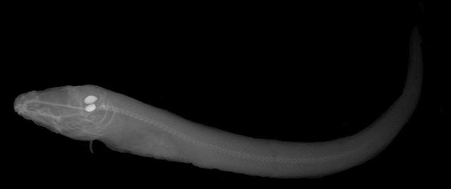 Radiographie montrant deux structures de forme ovale et de couleur claire dans la tête d'un poisson.