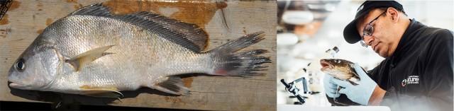 À gauche, un poisson sur un quai; à droite, un homme portant des gants de caoutchouc tient un poisson.