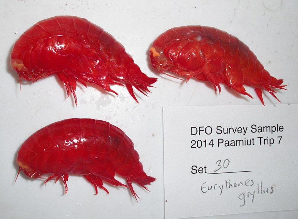 Trois animaux rouges semblables à des crevettes, sur fond blanc.