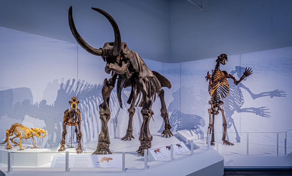 Cinq squelettes de mammifères disparus exposés dans un musée.