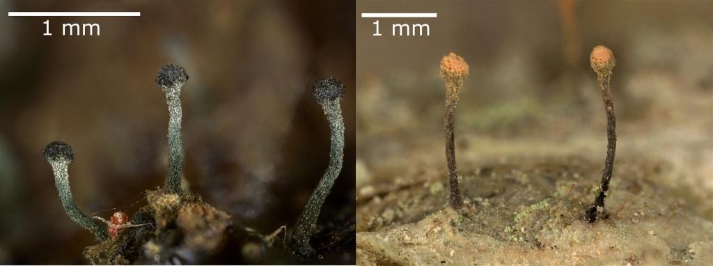 Deux photos de lichens minuscules disposées côte à côte. Chaque lichen mesure de 1 à 2 mm de hauteur et ressemble à une épingle à tête ronde. Ceux de la photo de gauche sont noirs et ceux de la photo de droite sont bruns et orangés.