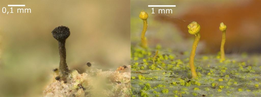 Deux photos de lichens minuscules disposées côte à côte. Ces lichens mesurent de 0,5 à 2 mm de hauteur et ressemblent à des épingles à tête ronde. Celui de la photo de gauche est noir et ceux de la photo de droite sont jaune pâle.