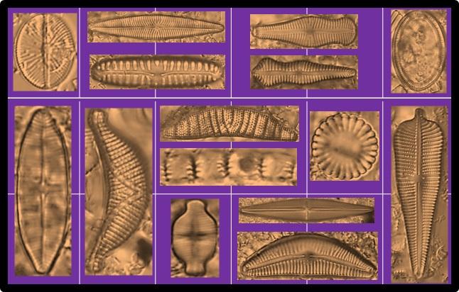 Des diatomées brunes sur fond violet, disposées comme dans une boîte de chocolats.