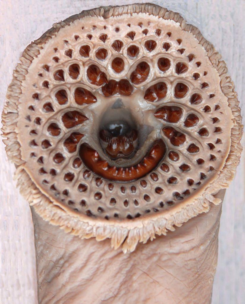 Une créature cylindrique portant des rangs circulaires de dents à une de ses extrémités.
